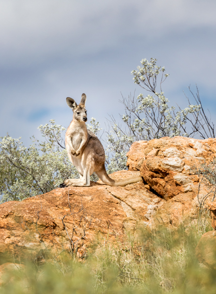 Kangaroo in the rocks